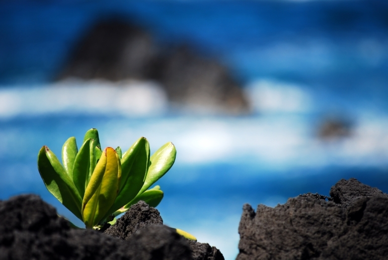 sea lettuce at laupahoehoe, hawaii